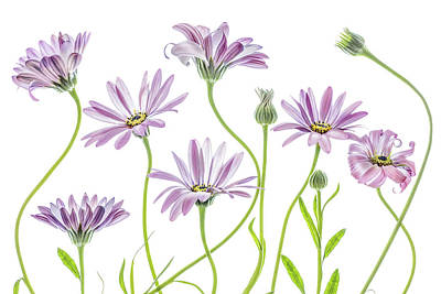 Designs Similar to Cape Daisies by Mandy Disher
