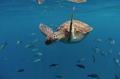 Designs Similar to Green Turtle Swimming