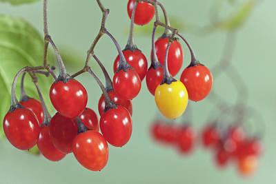 Solanum Dulcamara Photographs