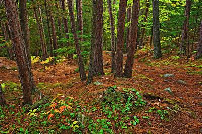 Pinus Resinosa Prints