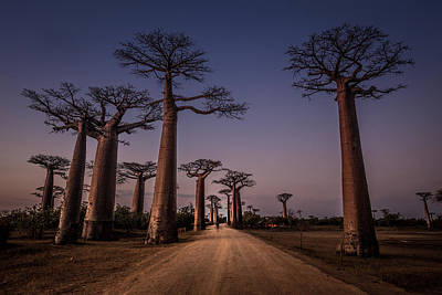Baobab Posters