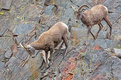 Designs Similar to Bighorn Sheep