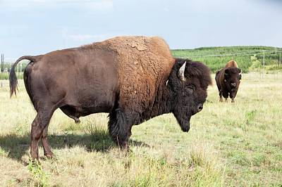 Wood Buffalo Art