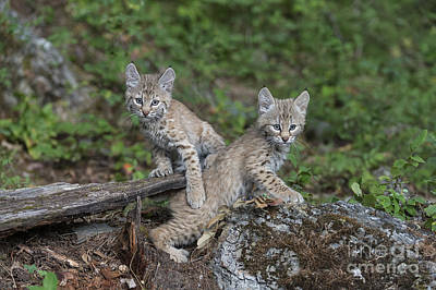 Bobcat Kittens Photographs