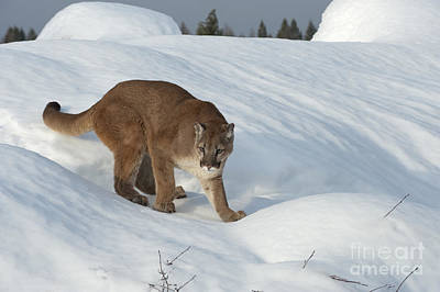 Lion In Winter Photographs