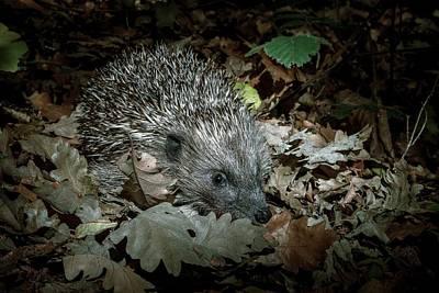 Designs Similar to European Hedgehog At Night
