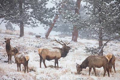 Elk Herd Photographs