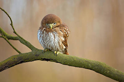 Designs Similar to Ferruginous Pygmy Owl