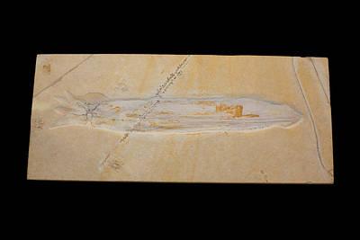Designs Similar to Fossil Squid