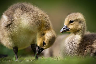 Designs Similar to Goslings In The Grass