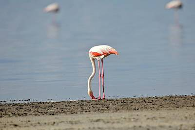 Designs Similar to Greater Flamingo Foraging