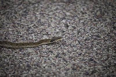 Eastern Hognose Snake Photographs