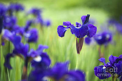 Siberian Iris Posters