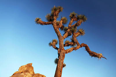 Designs Similar to Joshua Tree (yucca Brevifolia)