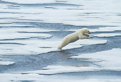 Polar Bear Photographs