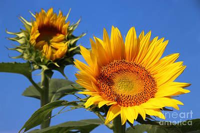 Designs Similar to Kansas Sunflowers-2488