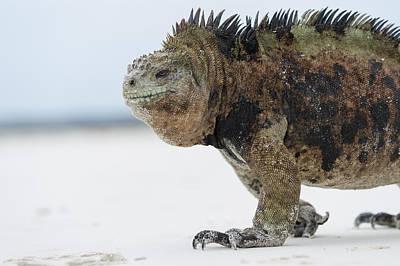 Marine Iguana Art