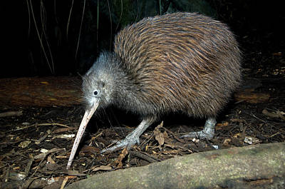 Designs Similar to North Island Brown Kiwi