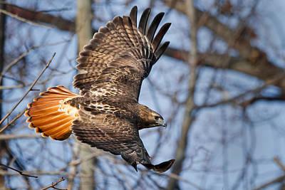 Hawks In Flight Prints