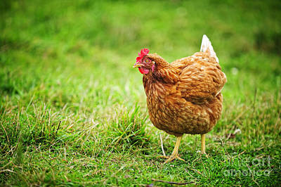 Designs Similar to Rhode Island Red Chicken