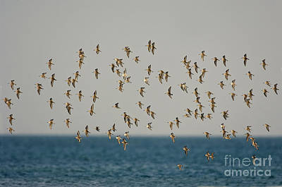 Designs Similar to Shorebirds Flying