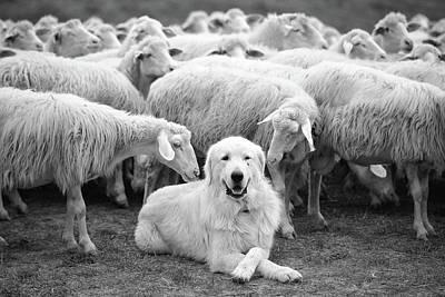 Herding Dog Posters