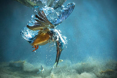Kingfisher Art Prints