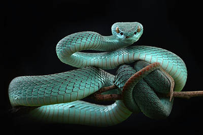 Viper Photographs