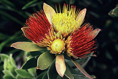 Designs Similar to Tufted Pincushion Flowers