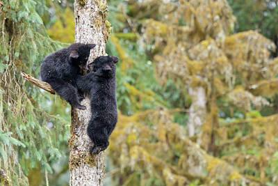 Black Bear Climbing Tree Prints