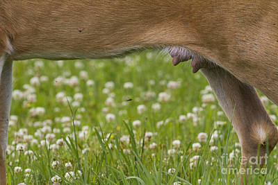 Nursing Deer Photographs