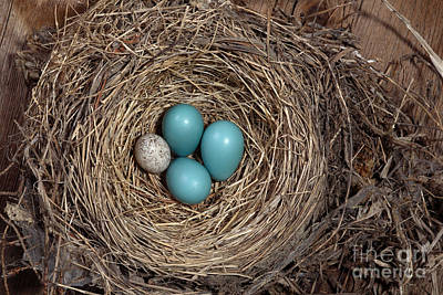 Designs Similar to Robins Nest And Cowbird Egg