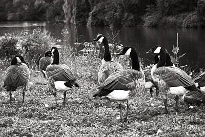 Designs Similar to Canada Geese by Blink Images