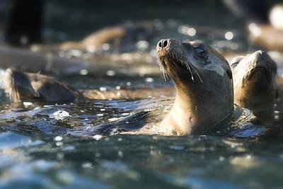 Sea Lion Art