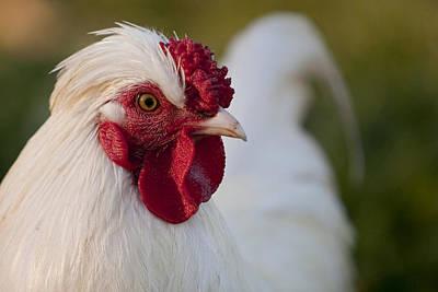 Chicken Portrait Posters