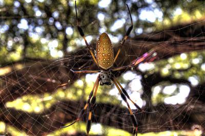 Golden Orb Spider Photographs