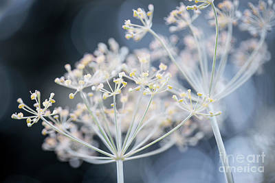 Designs Similar to Flowering Dill Clusters 1