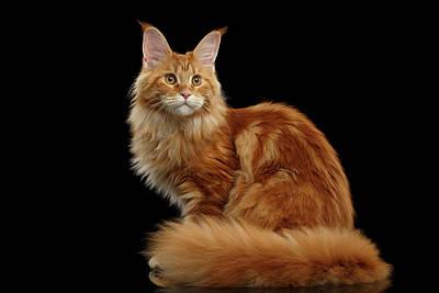 Ginger Cat Photographs