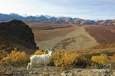 Designs Similar to Dalls Sheep In Denali