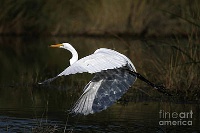 Designs Similar to Great Egret 2 by Rick Mann