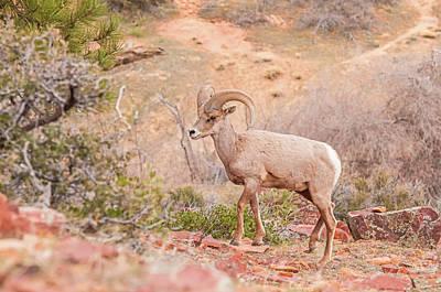 Designs Similar to Desert Bighorn Ram