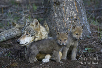 Designs Similar to Gray Wolf And Cubs