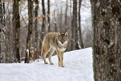 Northeastern Coyote Photographs