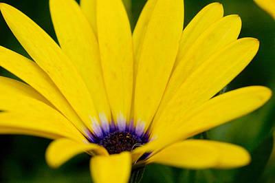 Osteospermum Hybrid Photographs