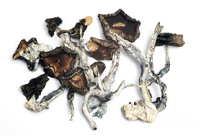 Designs Similar to Dried Psilocybe Cubensis