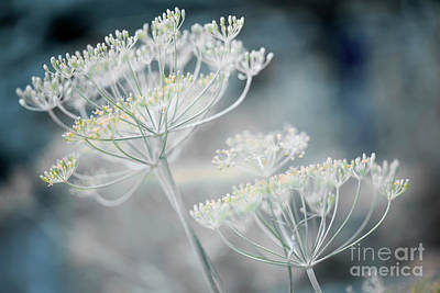 Designs Similar to Flowering Dill Clusters