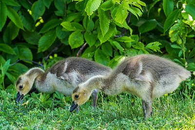 Designs Similar to Goslings by Paul Freidlund