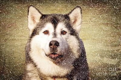 Siberian Husky Art Prints