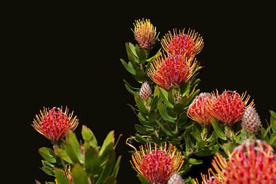 Proteaceae Photographs Original Artwork