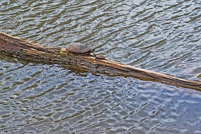 Mother And Baby Turtle Photographs